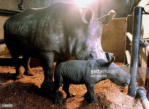 A baby African white rhino nicknamed 'Merdeka' walks around with his mother Hima at the zoo in Bogor in West Java 19 August 2003 The 50kg Merdeka was...
