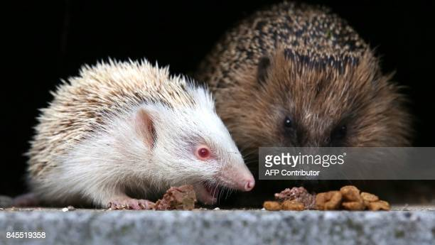 A baby albino hedgehog sits next to its mother in a garden in Binzwangen southern Germany on September 11 2017 / AFP PHOTO / dpa / Thomas Warnack /...