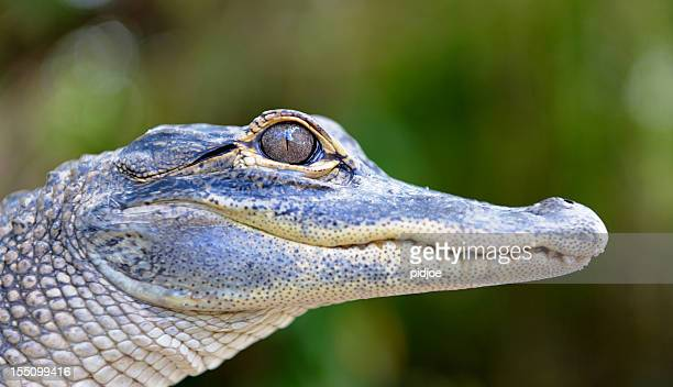 baby alligator head