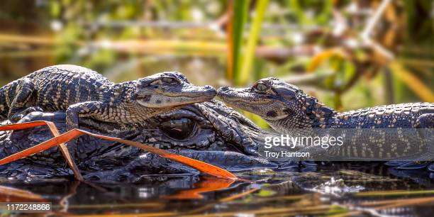 baby alligator kiss - florida gators stock pictures, royalty-free photos & images