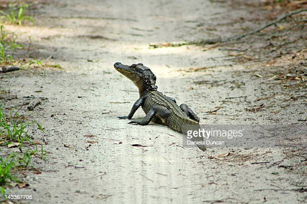 Baby alligator on tire tracks