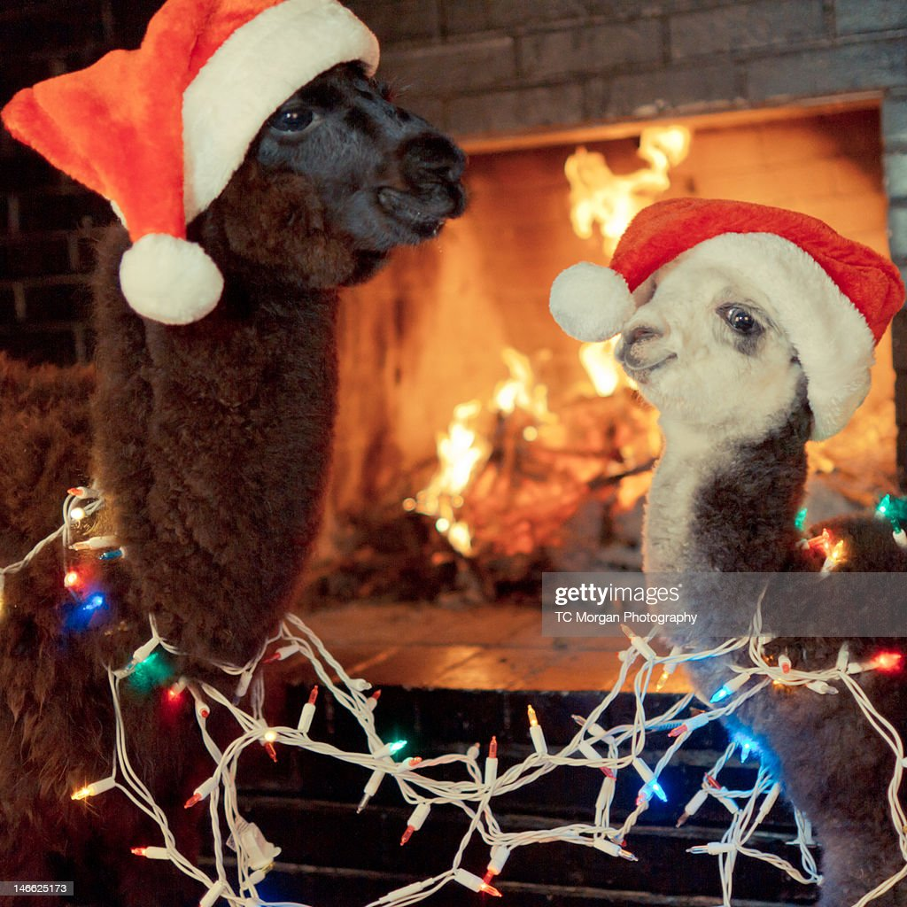 Baby Alpacas Wish You Happy Holidays : Stock Photo