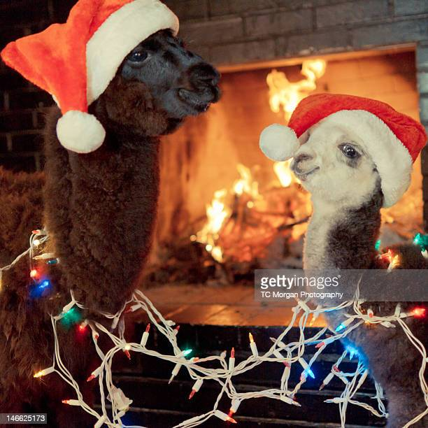 baby alpacas wish you happy holidays - happy holidays stock photos and pictures