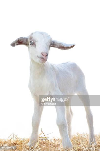 Baby Alpine goat.