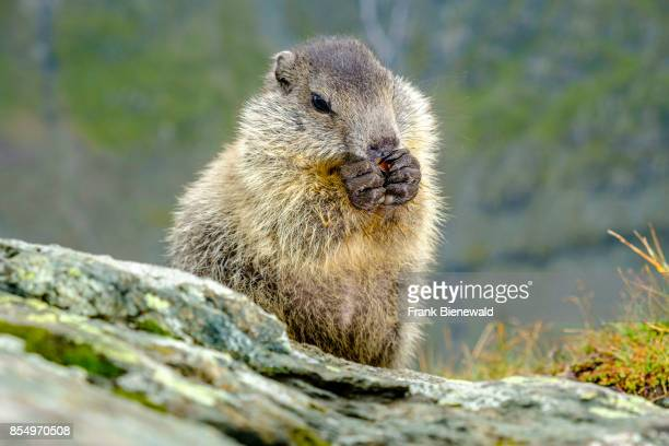 HEILIGENBLUT CARINTHIA AUSTRIA A baby Alpine marmot is sitting and eating a carrot on a rock at KaiserFranzJosefsHöhe