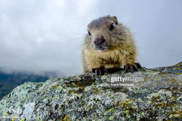 HEILIGENBLUT CARINTHIA AUSTRIA A baby Alpine marmot is sitting on a rock at KaiserFranzJosefsHöhe