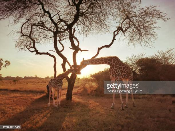 baby and mother giraffe in the sunset - mombasa stock pictures, royalty-free photos & images