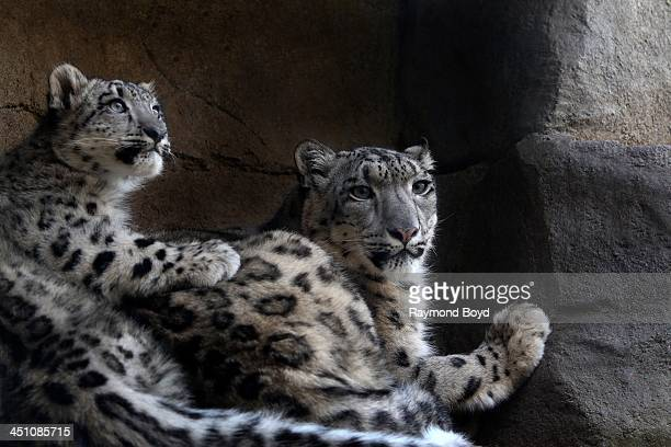A baby and mother Snow Leopard at Brookfield Zoo in Brookfield Illinois on NOVEMBER 14 2013