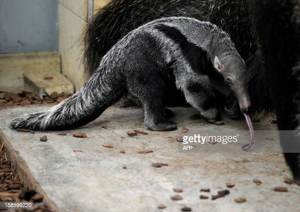 Baby anteater , born in captivity last December 6, is pictured next to its mother at Amneville Zoo, on December 20, 2012 in Amneville, eastern...