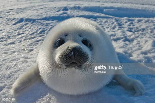 baby arctic seal in canada - baby seal stock photos and pictures
