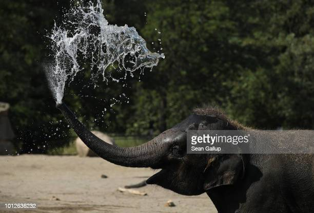 Baby Asian elephant squirts water over his head at Tiergarten zoo during hot weather on August 7, 2018 in Berlin, Germany. Forecasts called for 37...