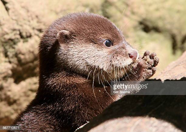 Baby Asian Small Clawed Otter