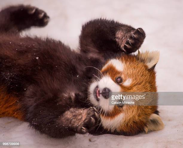 baby at play - red panda stock pictures, royalty-free photos & images