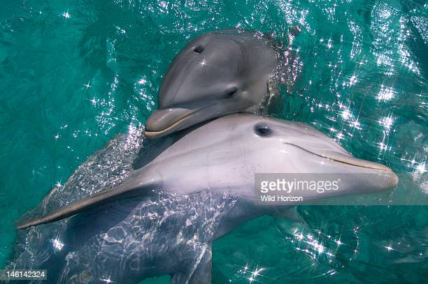 Baby Atlantic bottlenose dolphin and mother Curacao Netherlands Antilles