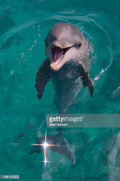 Baby Atlantic bottlenose dolphin Curacao Netherlands Antilles