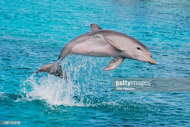 Baby Atlantic bottlenose dolphin jumping Curacao Netherlands Antilles