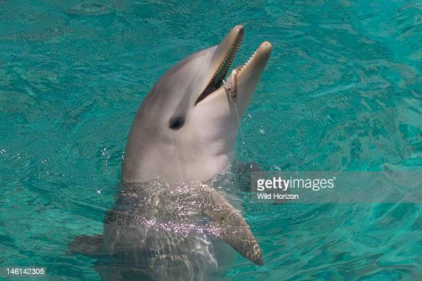 Baby Atlantic bottlenose dolphin playing with fish Curacao Netherlands Antilles