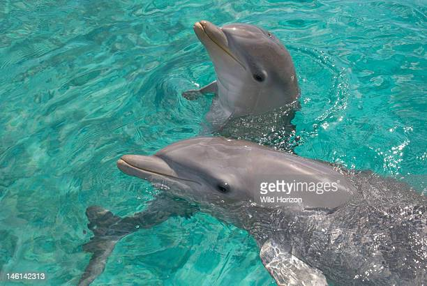 Baby Atlantic bottlenose dolphin with mother Curacao Netherlands Antilles