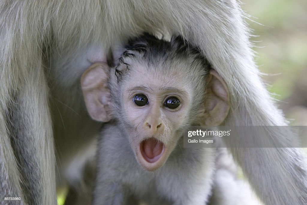 Baby baboon underneath its mother : Stock Photo