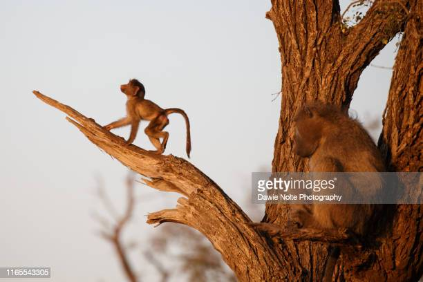 baboon mother looking while her baby