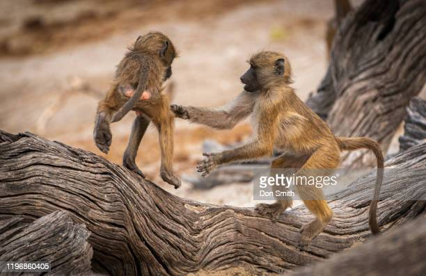 baby baboons at play - mammal stock pictures, royalty-free photos & images