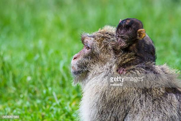 Baby Barbary macaque creeping rounds its mother