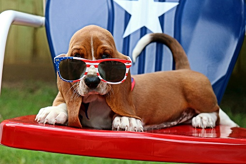 Baby Basset with Sunglasses. Fourth of July. 1057291010