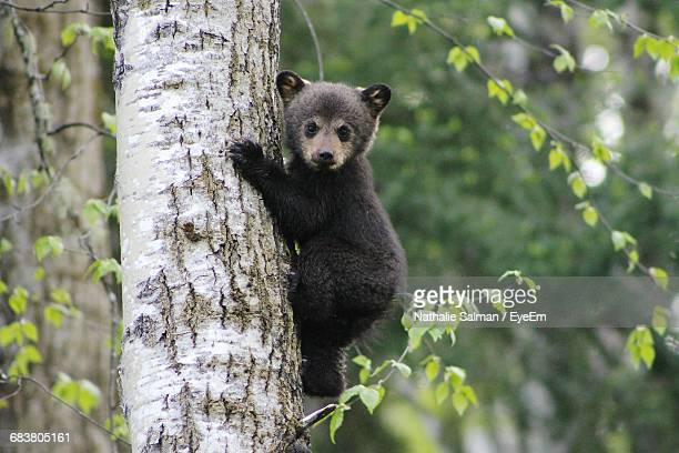 baby bear climbing a tree - bear cub stock pictures, royalty-free photos & images