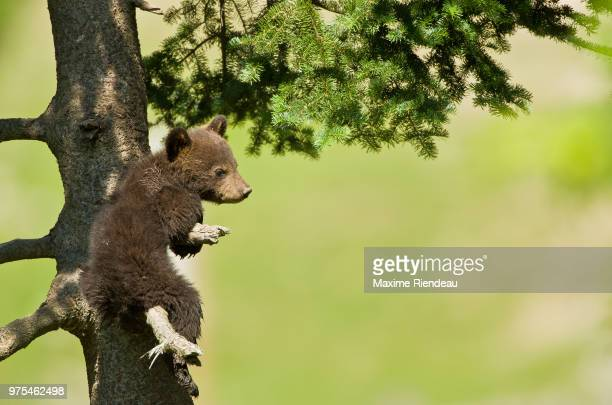 Baby bear sitting on tree, Quebec, Canada