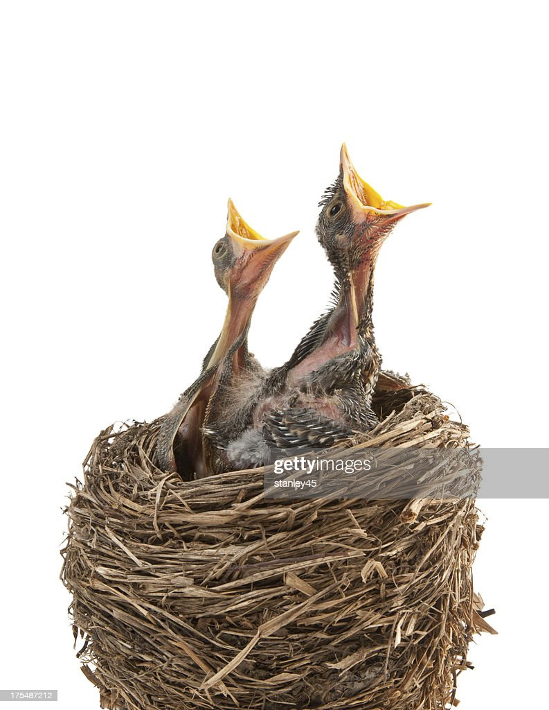 Baby birds hungry for dinner : Stock Photo