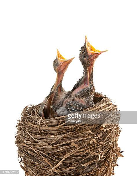 baby birds hungry for dinner - birds nest stock photos and pictures