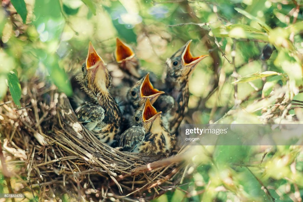 Baby birds in the nature : Stock Photo