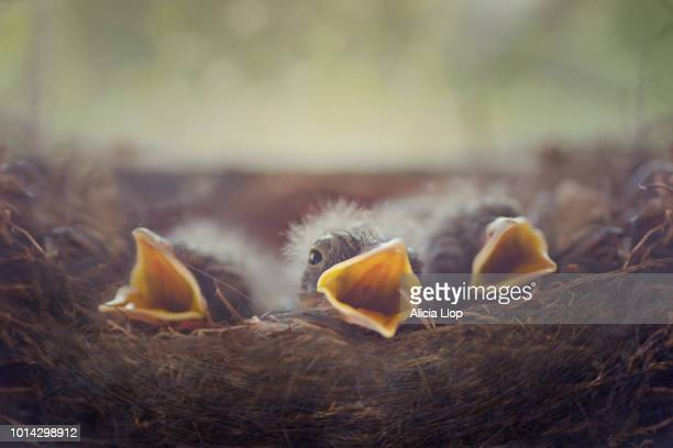 baby birds - birds nest stock photos and pictures