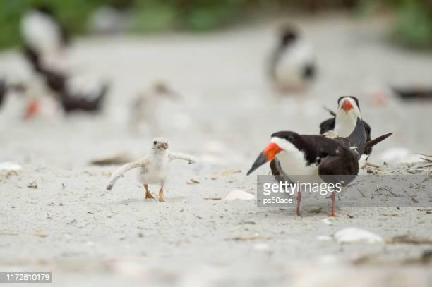 baby black skimmer chick adult birds