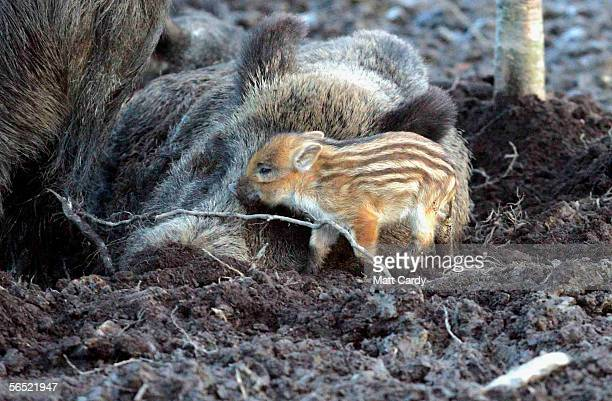A baby boar and its mother snuggleup at the Woodland Wild Boar Farm after the first boar hunt in the UK for 300 hundred years in the village of West...