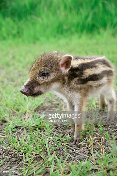 Baby boar standing