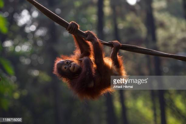 baby bornean orangutan - island of borneo stock pictures, royalty-free photos & images