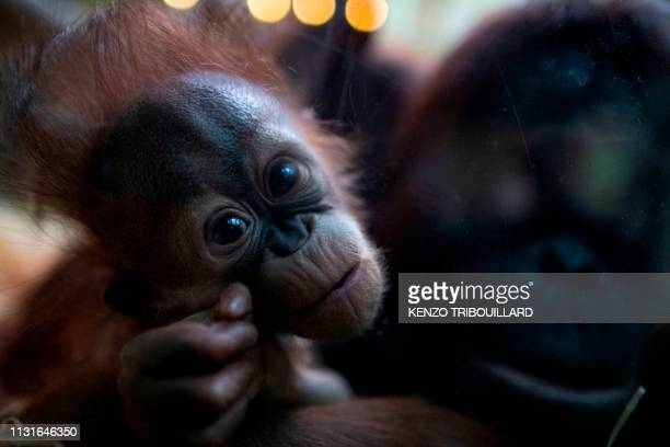 A baby Borneo orangutan named Java and the mother Theodora look on at the Menagerie at the Jardin des Plantes zoo in Paris on March 14 2019 in Paris...