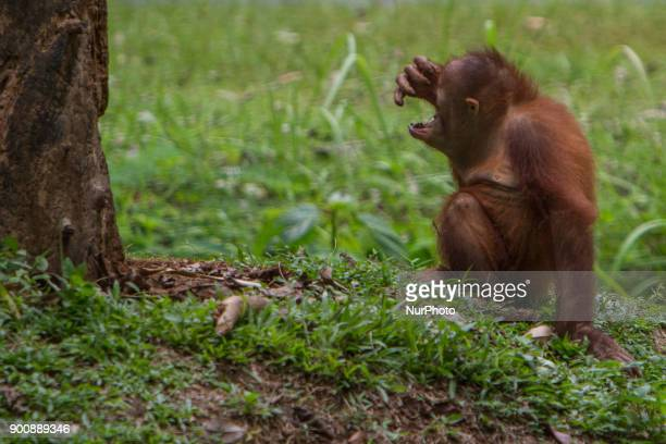 Baby Borneo Orangutan playing near the tree in Jakarta Indonesia on January 03 2018 The Sumatran Orangutan Conservation Programme is working hard to...