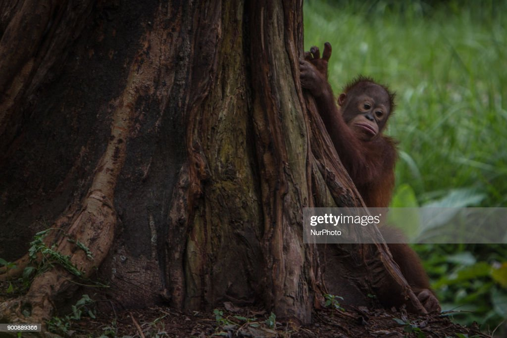 Baby Borneo Orangutan seen behind the tree in Jakarta, Indonesia on January 03, 2018. The Sumatran Orangutan Conservation Programme (SOCP) is working hard to build an Orangutan Haven in North Sumatra to accommodate disabled orangutans and orangutans that cannot be released to their natural habitat. Beginning construction four years ago with a US$2 million budget, the 48-hectare facility in Sibolangit, Deli Serdang regency, is expected to be ready by early 2019 to give long-term protection and provide improved living conditions for the disabled and unreleasable arboreal mammals. Five orangutans, including a female, will be placed in the facility by the end of 2018,, which will be open for public visits. The ve could not be released to their natural habitat as they no longer have the ability to survive in the wild, posing a risk to themselves as well as other populations. Nine artificial islands measuring between 600 and 800 square meters are being prepared by the SOCP in the Orangutan Haven, which is the first such facility in the world.