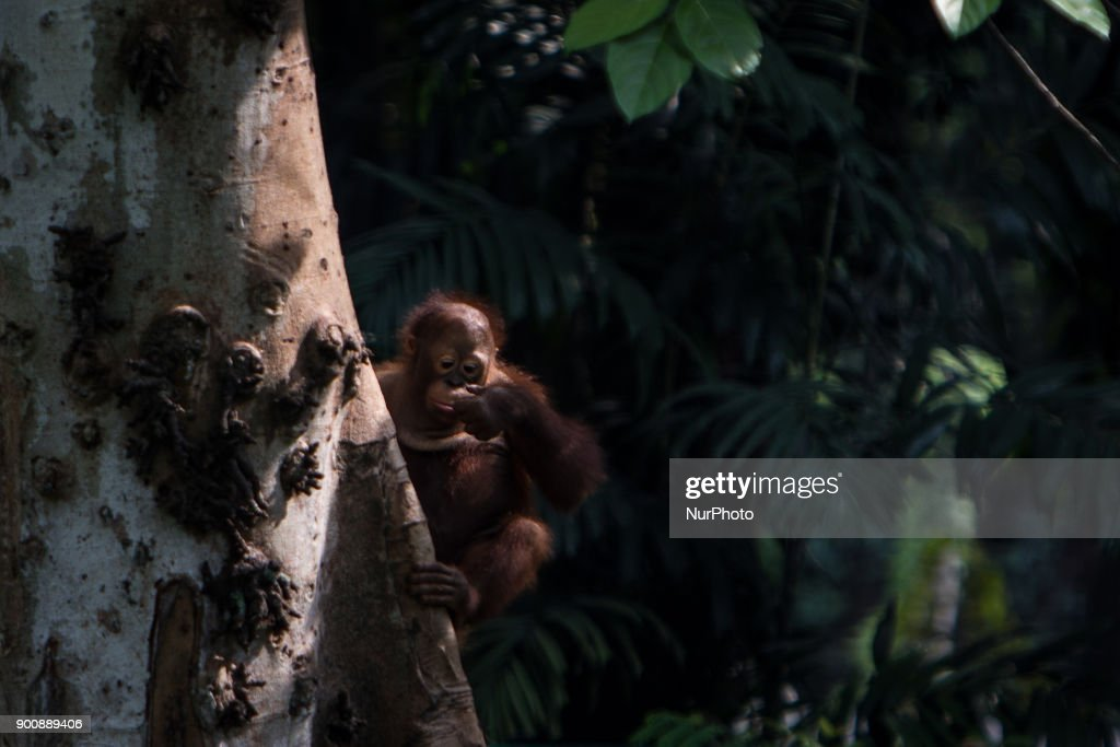 Baby Borneo Orangutan seen climb on tree in Jakarta, Indonesia on January 03, 2018. The Sumatran Orangutan Conservation Programme (SOCP) is working hard to build an Orangutan Haven in North Sumatra to accommodate disabled orangutans and orangutans that cannot be released to their natural habitat. Beginning construction four years ago with a US$2 million budget, the 48-hectare facility in Sibolangit, Deli Serdang regency, is expected to be ready by early 2019 to give long-term protection and provide improved living conditions for the disabled and unreleasable arboreal mammals. Five orangutans, including a female, will be placed in the facility by the end of 2018,, which will be open for public visits. The ve could not be released to their natural habitat as they no longer have the ability to survive in the wild, posing a risk to themselves as well as other populations. Nine artificial islands measuring between 600 and 800 square meters are being prepared by the SOCP in the Orangutan Haven, which is the first such facility in the world.