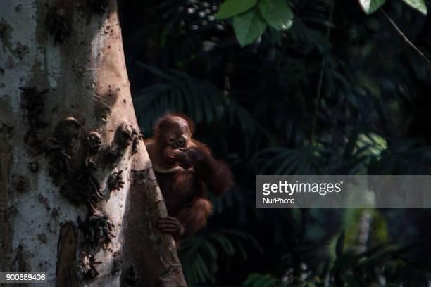 Baby Borneo Orangutan seen climb on tree in Jakarta Indonesia on January 03 2018 The Sumatran Orangutan Conservation Programme is working hard to...