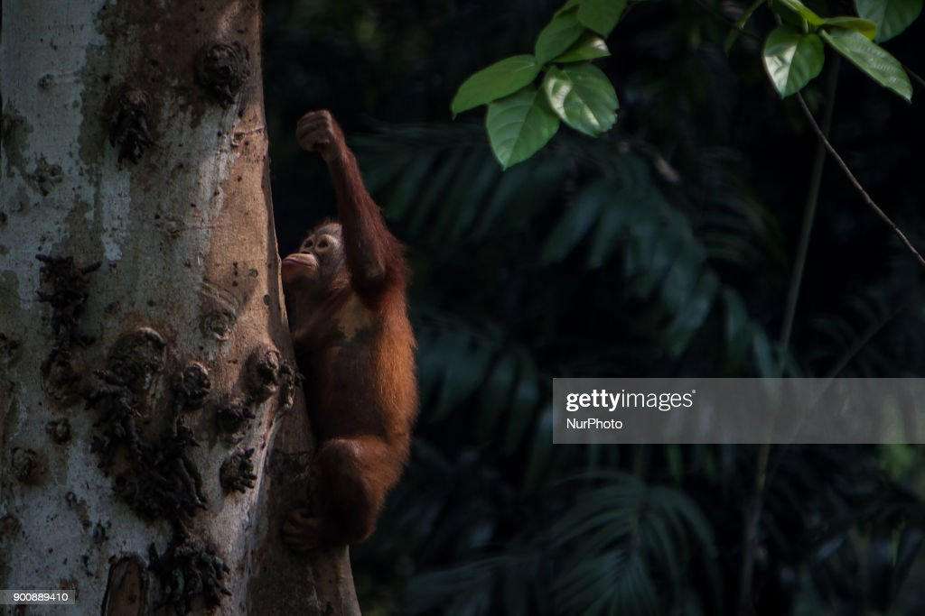 Baby Borneo Orangutan seen climbing on the tree in Jakarta, Indonesia on January 03, 2018. The Sumatran Orangutan Conservation Programme (SOCP) is working hard to build an Orangutan Haven in North Sumatra to accommodate disabled orangutans and orangutans that cannot be released to their natural habitat. Beginning construction four years ago with a US$2 million budget, the 48-hectare facility in Sibolangit, Deli Serdang regency, is expected to be ready by early 2019 to give long-term protection and provide improved living conditions for the disabled and unreleasable arboreal mammals. Five orangutans, including a female, will be placed in the facility by the end of 2018,, which will be open for public visits. The ve could not be released to their natural habitat as they no longer have the ability to survive in the wild, posing a risk to themselves as well as other populations. Nine artificial islands measuring between 600 and 800 square meters are being prepared by the SOCP in the Orangutan Haven, which is the first such facility in the world.