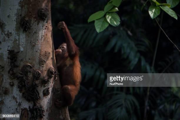 Baby Borneo Orangutan seen climbing on the tree in Jakarta Indonesia on January 03 2018 The Sumatran Orangutan Conservation Programme is working hard...