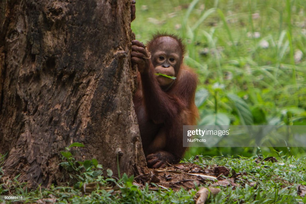 Baby Borneo Orangutan seen playing behind the tree in Jakarta, Indonesia on January 03, 2018. The Sumatran Orangutan Conservation Programme (SOCP) is working hard to build an Orangutan Haven in North Sumatra to accommodate disabled orangutans and orangutans that cannot be released to their natural habitat. Beginning construction four years ago with a US$2 million budget, the 48-hectare facility in Sibolangit, Deli Serdang regency, is expected to be ready by early 2019 to give long-term protection and provide improved living conditions for the disabled and unreleasable arboreal mammals. Five orangutans, including a female, will be placed in the facility by the end of 2018,, which will be open for public visits. The ve could not be released to their natural habitat as they no longer have the ability to survive in the wild, posing a risk to themselves as well as other populations. Nine artificial islands measuring between 600 and 800 square meters are being prepared by the SOCP in the Orangutan Haven, which is the first such facility in the world.
