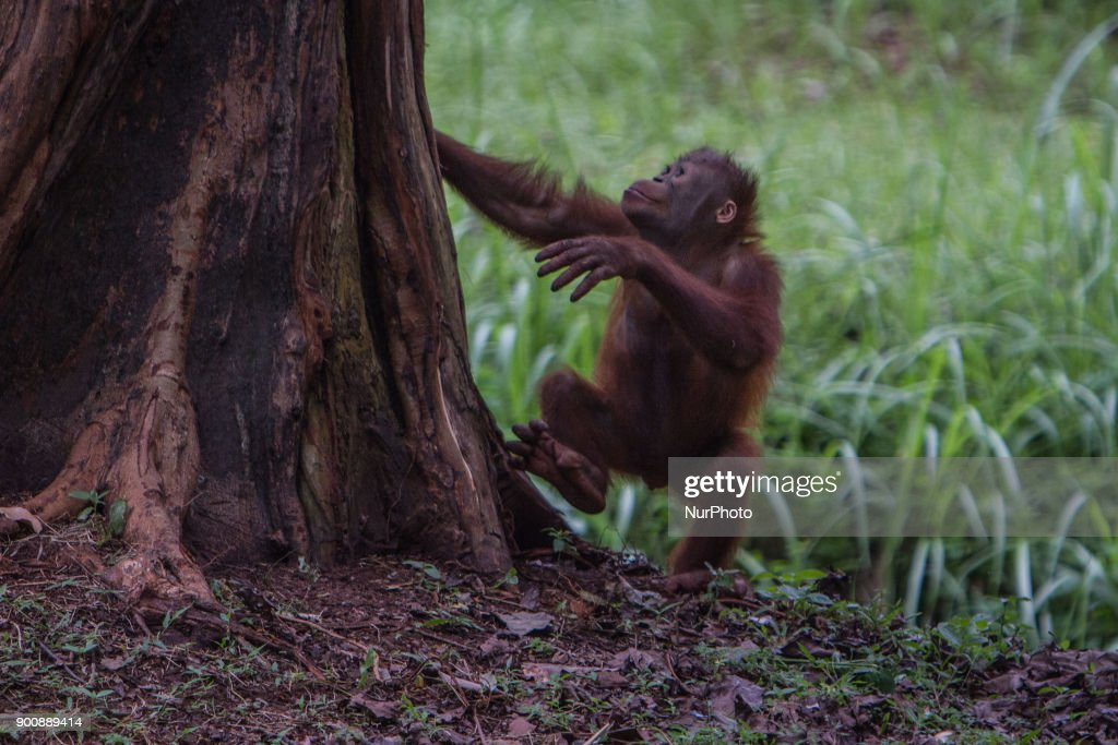 Baby Borneo Orangutan seen trying for climb the tree in Jakarta, Indonesia on January 03, 2018. The Sumatran Orangutan Conservation Programme (SOCP) is working hard to build an Orangutan Haven in North Sumatra to accommodate disabled orangutans and orangutans that cannot be released to their natural habitat. Beginning construction four years ago with a US$2 million budget, the 48-hectare facility in Sibolangit, Deli Serdang regency, is expected to be ready by early 2019 to give long-term protection and provide improved living conditions for the disabled and unreleasable arboreal mammals. Five orangutans, including a female, will be placed in the facility by the end of 2018,, which will be open for public visits. The ve could not be released to their natural habitat as they no longer have the ability to survive in the wild, posing a risk to themselves as well as other populations. Nine artificial islands measuring between 600 and 800 square meters are being prepared by the SOCP in the Orangutan Haven, which is the first such facility in the world.
