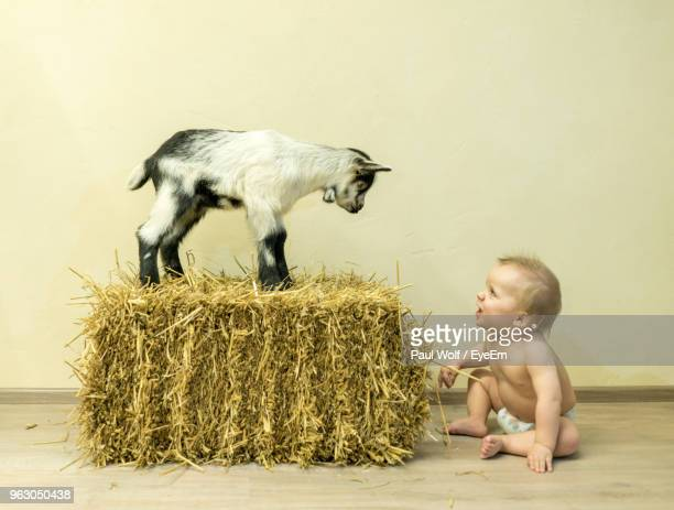 Baby Boy Looking At Kid Goat Standing On Hay Bale