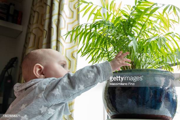 baby boy playing and discovers the leaves of the decoration plant in the house in front of the window - one baby boy only stock pictures, royalty-free photos & images