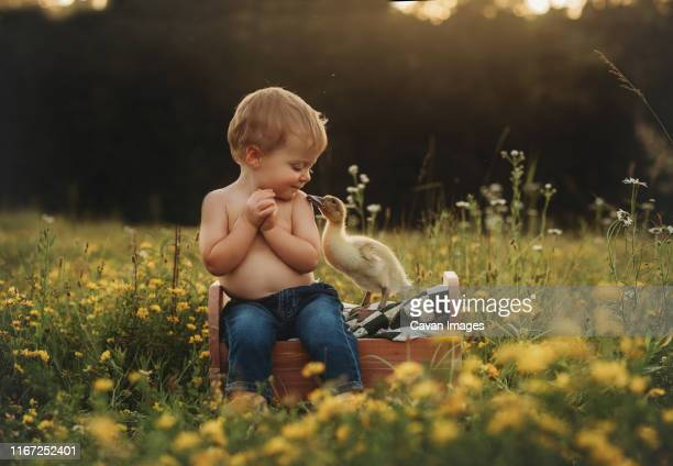 baby boy toddler in field with yellow flowers and duck duckling - touching stock pictures, royalty-free photos & images