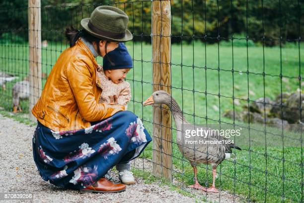 Baby boy visiting goose family